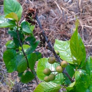 移栽后的樱桃苗木管理图片